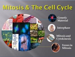 Mitosis 1