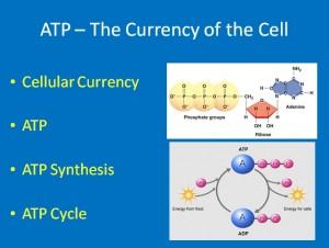 L2 ATP 1